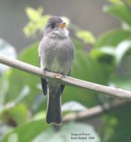 Tropical Pewee - Contopus cinereus