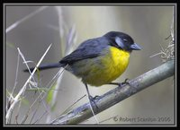 Santa Marta Brush-Finch - Atlapetes melanocephalus