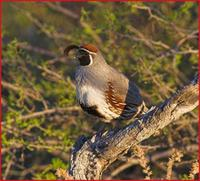 Gambel's quail in Organ Pipe NM