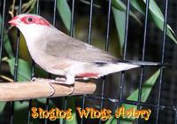 Red Ear Waxbill