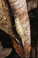 ...dwarf chameleon (brookesia peyrierasi) nosy mangabe madagascar. fotosearch - search stock photos