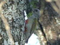 Grey-headed Woodpecker - Dendropicos spodocephalus