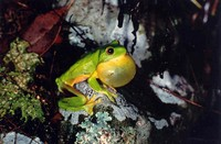 : Litoria chloris; Red-eyed Tree Frog