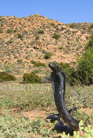 : Naja nigricincta woodi; Black Spitting Cobra