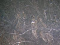 ...This photo taken near Nelson Lake, Oliver county shows a pair of Great Horned Owls perched in so