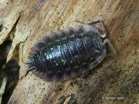Oniscus asellus - Common Shiny Woodlouse