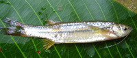 Esomus danricus, Flying barb: fisheries, aquarium