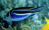 Genicanthus bellus, Ornate angelfish: aquarium