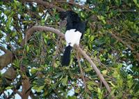 Image of: Bycanistes subcylindricus (grey-cheeked hornbill)