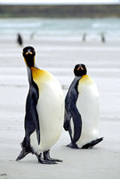 Photo: King penguins on an Antarctic beach