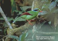 Short-tailed Green Magpie - Cissa thalassina