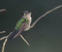 Wedge-tailed Sabrewing (Campylopterus curvipennis) photo
