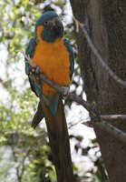 Blue-throated Macaw - Ara glaucogularis