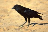 Cape Crow - Corvus capensis