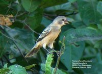 Rusty-collared Seedeater - Sporophila collaris