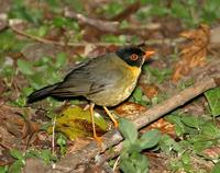 Spotted Nightingale-Thrush; El Triunfo, Chiapas, MX (WEB).jpg
