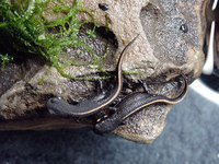 : Cynops pyrrhogaster; Japanese Fire Belly Newt