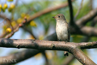 Asian Brown Flycatcher 北灰鶲