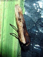 Xylena vetusta - Red Sword-grass