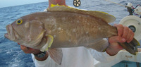 Epinephelus flavolimbatus, Yellowedge grouper: fisheries, gamefish