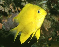 Amblyglyphidodon aureus, Golden damselfish: aquarium