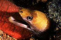 Gymnothorax melatremus, Dwarf moray: