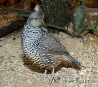 Callipepla squamata - Scaled Quail