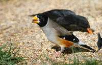 Image of: Eophona migratoria (yellow-billed grosbeak)