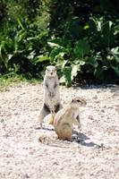 Xerus inauris - South African Ground Squirrel