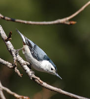 Image of: Sitta carolinensis (white-breasted nuthatch)