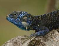 Acanthocercus atricollis - Blue-throated Agama