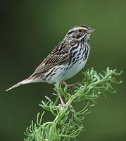 Savannah Sparrow (Passerculus sandwichensis) photo