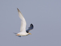 Little Tern (Sterna albifrons) photo