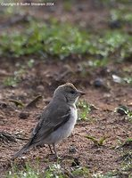 Chestnut-shouldered Petronia - Petronia xanthocollis