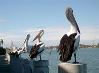 Australian Pelican, Pelicanus conspicillatus, Brisbane River, July 2004. Photo © Barrie Jamieson
