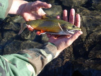 : Salvelinus fontinalis; Brook Trout