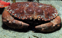 : Cancer antennarius; Brown Rock Crab