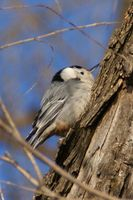 This photo of a White-breasted Nuthatch was taken along the Missouri River on 02/18/08.