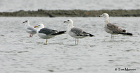 Brown-headed Gull, Heuglinn's gull, Heuglinn's Gull and Pallas's Gull