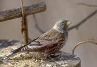 Asian Rosy-Finch (Leucosticte arctoa) photo
