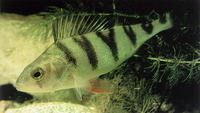 Perca fluviatilis, European perch: fisheries, aquaculture, gamefish