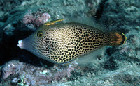 Pervagor spilosoma, Fantail filefish: aquarium