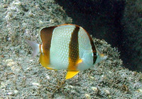 Chaetodon robustus, Three-banded butterflyfish: aquarium