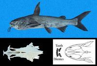 Cathorops dasycephalus, Big-bellied sea catfish: fisheries