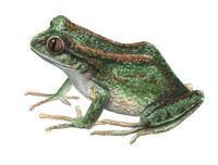 Image of: Hylorina sylvatica (emerald forest frog)