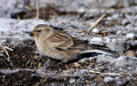 Image of: Montifringilla adamsi (black-winged snowfinch)