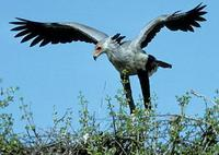 Image of: Sagittarius serpentarius (secretary bird)