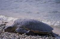 Chelonia mydas - Atlantic Green Turtle