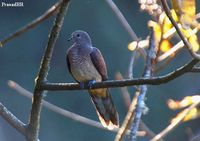 Barred Cuckoo Dove - Macropygia unchall
