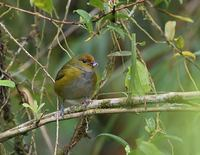 Tawny-capped Euphonia (Euphonia anneae) photo